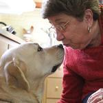 Arlington, MA., 01/30/12, Seventy-three-year-old Anne DeFeo is blind. Her guide dog, Viv, is a 5-year-old yellow labrador. Anne and Viv will be attending the Feb. 14 ceremony at the Perkins Braille and Talking Book Library in Watertown celebrating the release of the US Postal Service's